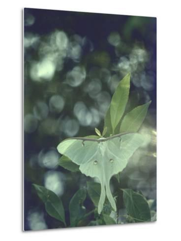 Luna Moth Clings to a Pond Side Chokecherry Tree-Alfred Eisenstaedt-Metal Print