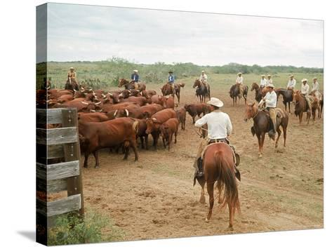 Cowboys on the King Ranch Move Santa Gertrudis Cattle from the Roundup Area Into the Working Pens-Ralph Crane-Stretched Canvas Print