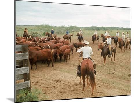 Cowboys on the King Ranch Move Santa Gertrudis Cattle from the Roundup Area Into the Working Pens-Ralph Crane-Mounted Photographic Print