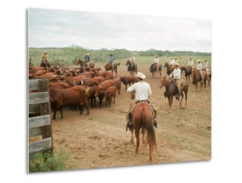 Cowboys on the King Ranch Move Santa Gertrudis Cattle from the Roundup Area Into the Working Pens-Ralph Crane-Metal Print