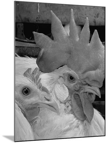 Close Up of View of Two White Leghorns, That Hatched at the Same Time-Bernard Hoffman-Mounted Photographic Print