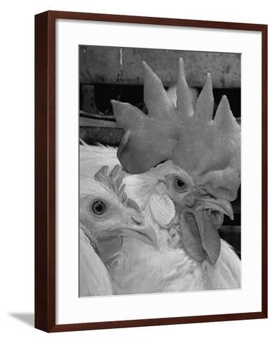 Close Up of View of Two White Leghorns, That Hatched at the Same Time-Bernard Hoffman-Framed Art Print