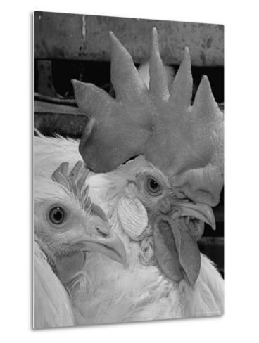 Close Up of View of Two White Leghorns, That Hatched at the Same Time-Bernard Hoffman-Metal Print