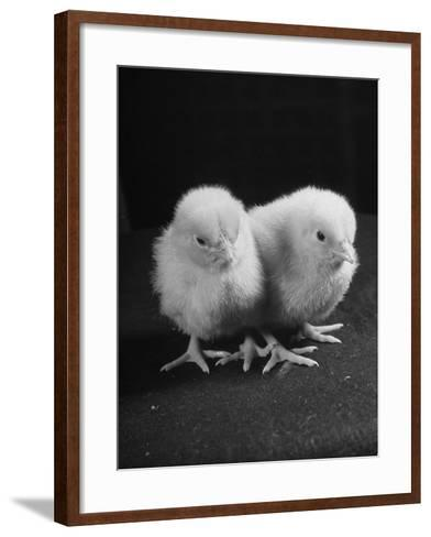 Baby Chicks Being Used For Experiments in Sex Hormones-Hansel Mieth-Framed Art Print