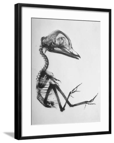 Chick Embryo Being Enlarged from Twice It's Size-Al Fenn-Framed Art Print