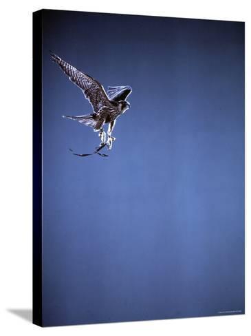 Falcon in Flight-Gjon Mili-Stretched Canvas Print