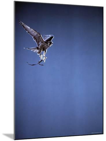 Falcon in Flight-Gjon Mili-Mounted Photographic Print