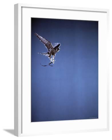 Falcon in Flight-Gjon Mili-Framed Art Print