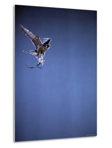 Falcon in Flight-Gjon Mili-Metal Print
