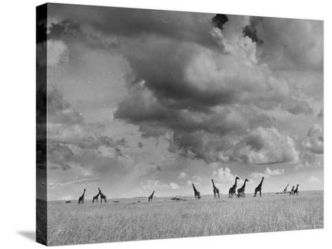 Giraffes Roaming Through the Field-Eliot Elisofon-Stretched Canvas Print
