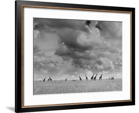 Giraffes Roaming Through the Field-Eliot Elisofon-Framed Art Print