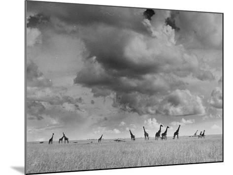 Giraffes Roaming Through the Field-Eliot Elisofon-Mounted Photographic Print