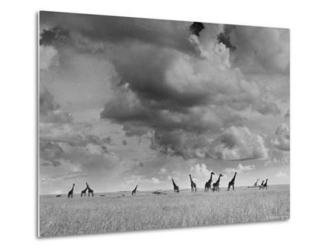 Giraffes Roaming Through the Field-Eliot Elisofon-Metal Print