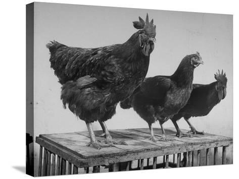 Heshe Chickens-Francis Miller-Stretched Canvas Print