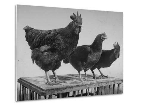 Heshe Chickens-Francis Miller-Metal Print