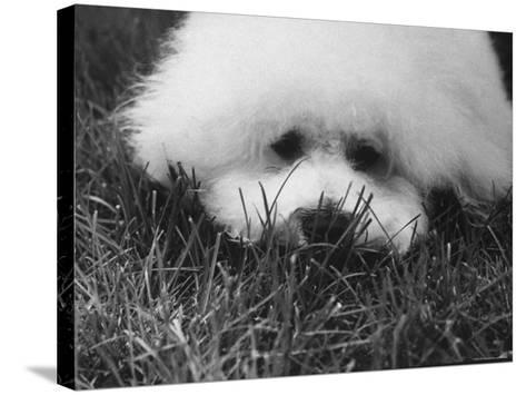 Descendant of 16th Century French Court Dogs-Yale Joel-Stretched Canvas Print
