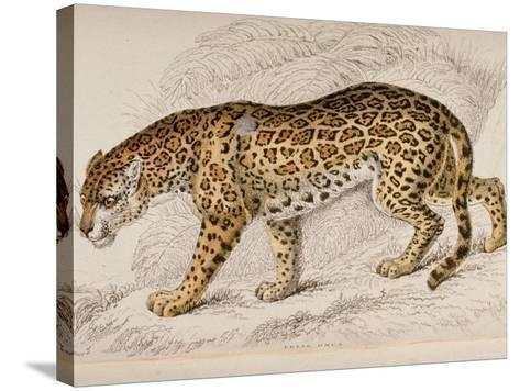 Engraving of a Jaguar from The Naturalist's Library Mammalia--Stretched Canvas Print