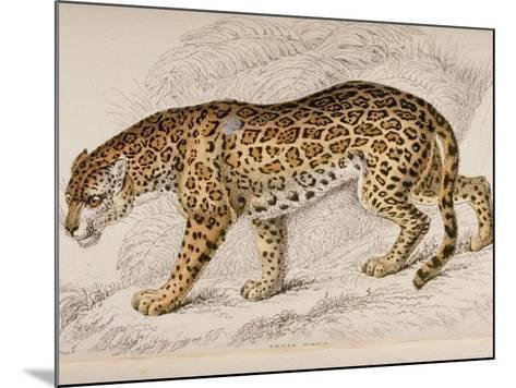 Engraving of a Jaguar from The Naturalist's Library Mammalia--Mounted Photographic Print