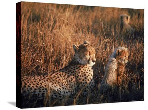 Mother Cheetah and Her Cub in Game Preserve in Africa-John Dominis-Stretched Canvas Print
