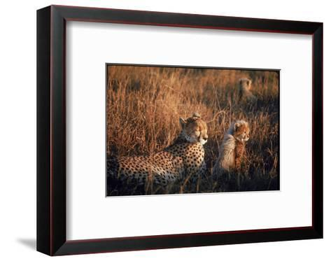 Mother Cheetah and Her Cub in Game Preserve in Africa-John Dominis-Framed Art Print