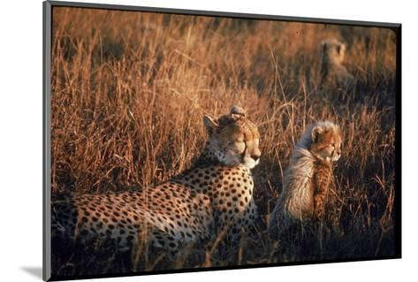 Mother Cheetah and Her Cub in Game Preserve in Africa-John Dominis-Mounted Photographic Print
