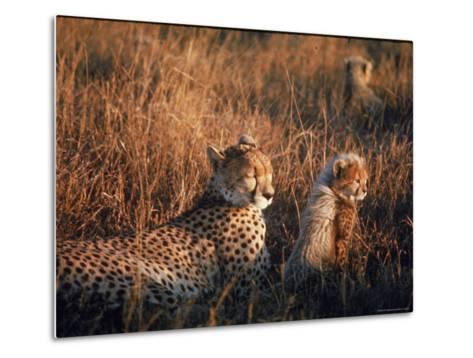 Mother Cheetah and Her Cub in Game Preserve in Africa-John Dominis-Metal Print