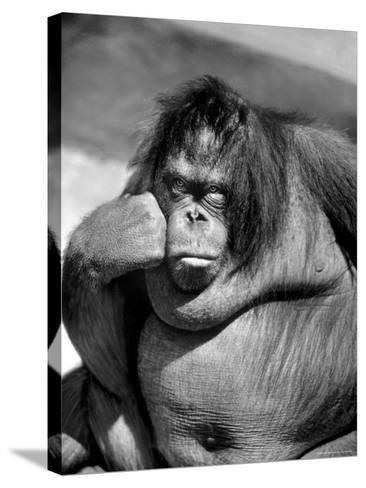 Sandra the Orangutan with Cheek Resting on Hand and Thoughtful Expression, at the Bronx Zoo-Nina Leen-Stretched Canvas Print