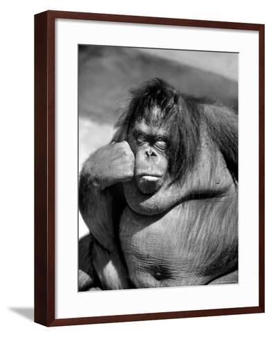 Sandra the Orangutan with Cheek Resting on Hand and Thoughtful Expression, at the Bronx Zoo-Nina Leen-Framed Art Print