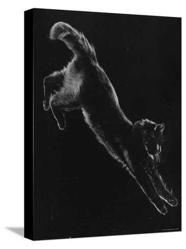 Portrait of Blackie, Gjon Mili's Cat-Gjon Mili-Stretched Canvas Print