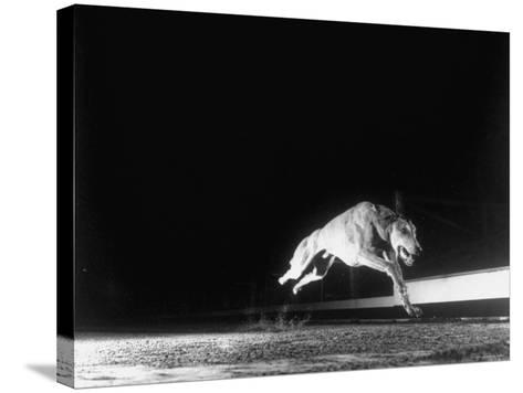 Racing Greyhound Captured at Full Speed by High Speed Camera in Race at Wonderland Park-Gjon Mili-Stretched Canvas Print