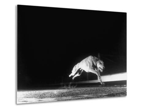 Racing Greyhound Captured at Full Speed by High Speed Camera in Race at Wonderland Park-Gjon Mili-Metal Print