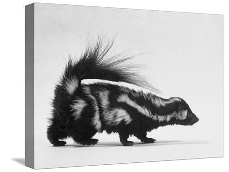 Side View of Skunk-Loomis Dean-Stretched Canvas Print