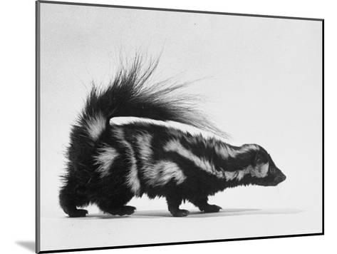 Side View of Skunk-Loomis Dean-Mounted Photographic Print