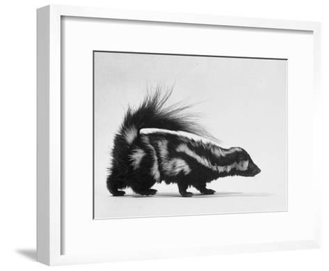 Side View of Skunk-Loomis Dean-Framed Art Print