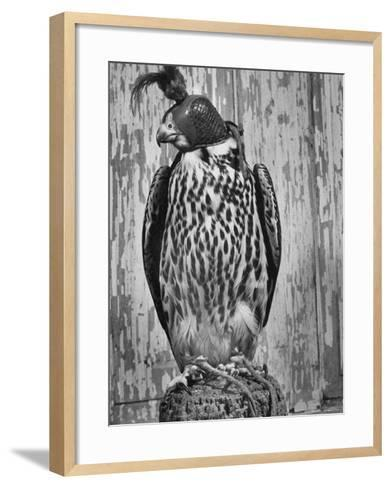 The Captive Falcon with Its Feet Tied Down and a Mask over Its Face So It Cannot Escape-Peter Stackpole-Framed Art Print