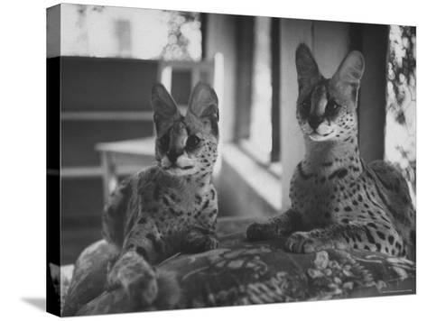 Pair of Servals, Pets of a Big Tobacco Farm Owner-James Burke-Stretched Canvas Print