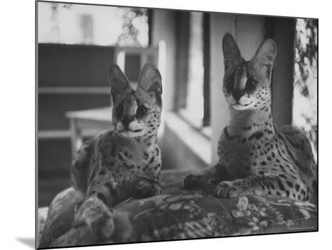 Pair of Servals, Pets of a Big Tobacco Farm Owner-James Burke-Mounted Photographic Print