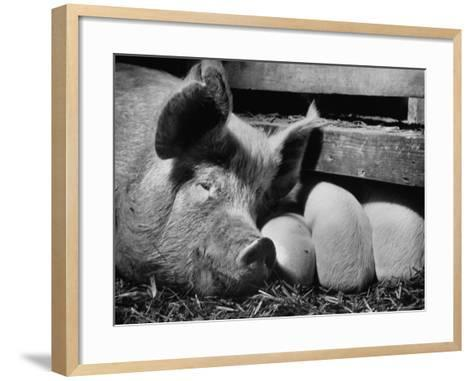 Not Pure Breds, Mixed Yorkshire Pigs, on Iowa Farm-Gordon Parks-Framed Art Print