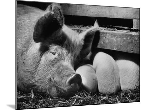 Not Pure Breds, Mixed Yorkshire Pigs, on Iowa Farm-Gordon Parks-Mounted Photographic Print