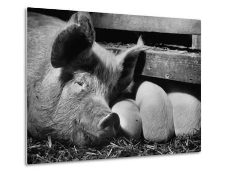 Not Pure Breds, Mixed Yorkshire Pigs, on Iowa Farm-Gordon Parks-Metal Print