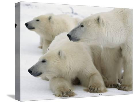 A Portrait of a Polar Bear Mother and Her Cubs-Norbert Rosing-Stretched Canvas Print