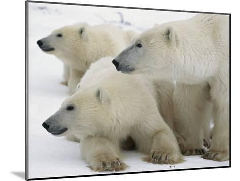 A Portrait of a Polar Bear Mother and Her Cubs-Norbert Rosing-Mounted Photographic Print
