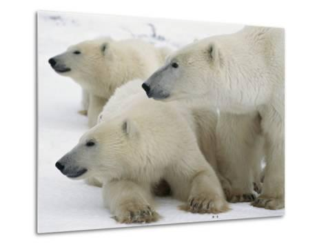 A Portrait of a Polar Bear Mother and Her Cubs-Norbert Rosing-Metal Print