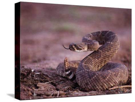 A Western Diamondback Rattlesnake Stands Coiled and Ready to Strike-Joel Sartore-Stretched Canvas Print