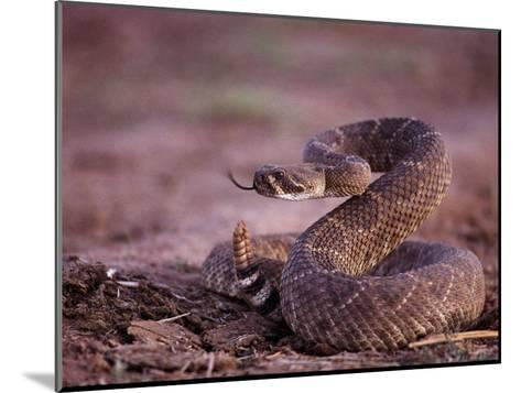 A Western Diamondback Rattlesnake Stands Coiled and Ready to Strike-Joel Sartore-Mounted Photographic Print