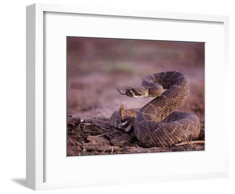 A Western Diamondback Rattlesnake Stands Coiled and Ready to Strike-Joel Sartore-Framed Art Print