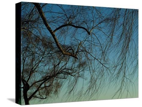 Branches of a Weeping Willow Tree against a Blue Sky-Todd Gipstein-Stretched Canvas Print