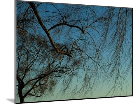 Branches of a Weeping Willow Tree against a Blue Sky-Todd Gipstein-Mounted Photographic Print