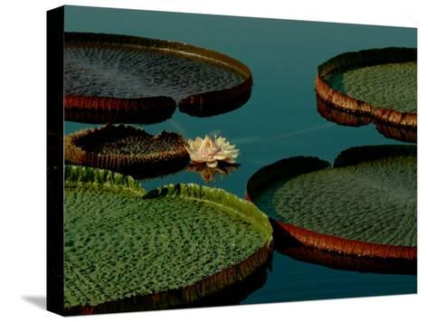 Victoria Water Lilies-James P^ Blair-Stretched Canvas Print