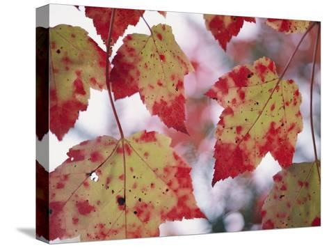 Red Maple Leaves-George F^ Mobley-Stretched Canvas Print